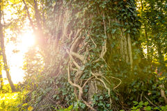 Ivy-clad tree Stock Image