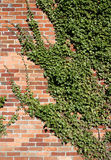 Ivy Clad Wall Royalty Free Stock Image