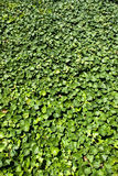Ivy-clad wall. In botanic garden Royalty Free Stock Images