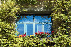 Ivy clad window Royalty Free Stock Photo