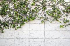 Ivy climber plant Stock Photos