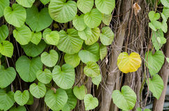 Ivy. Climbing the bamboo fence of a house Stock Photography