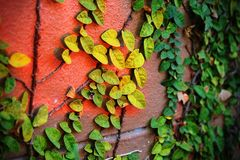 Ivy climbing on the brick wall. Contrasting color between ivy and red brick wall Royalty Free Stock Image