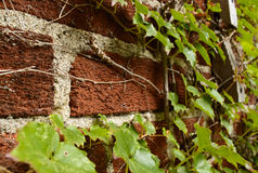 Ivy climbing on a brick wall. Green ivy climbing on a brick wall stock photography