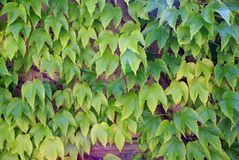 Ivy - climbing ever green plants Stock Images