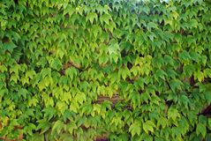 Ivy - climbing ever green plants on the wall Stock Photography
