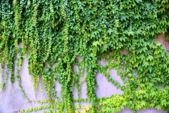 Ivy - climbing ever green plants on the wall. In Prague stock images