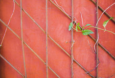 Ivy Climbing On A metal gate Stock Photography
