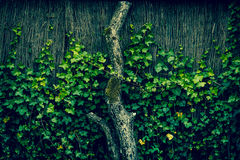 Ivy climbing an old fence Royalty Free Stock Photo
