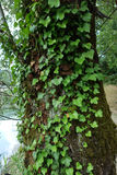 An ivy climbing on an old tree. The green and thick leaves of an ivy plant. Hedera L., 1753 is a genus of Araliaceae family plants, including many species Stock Photography