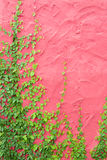 Ivy or climbing plant on colorful pink concrete wall Stock Photo