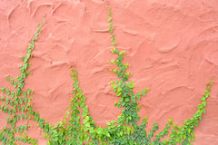 Ivy or climbing plant on retro color concrete wall Stock Image