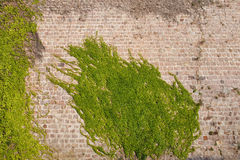 Ivy Climbing Plants on a Castle Wall Royalty Free Stock Images