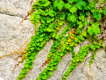 Ivy climbing on the rocks Stock Images