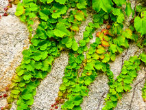 Ivy climbing on the rocks Royalty Free Stock Photos