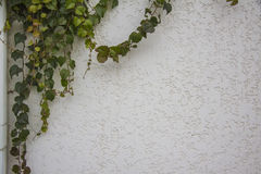 Ivy Climbing On A Stucco Wall Royalty Free Stock Image