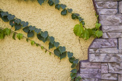 Ivy Climbing On A Stucco Wall Royalty Free Stock Photos