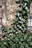 Ivy climbing tree Stock Photos