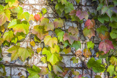 Ivy Climbing On un mur de stuc photographie stock libre de droits