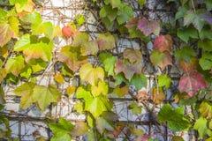Ivy Climbing On una pared del estuco fotografía de archivo libre de regalías