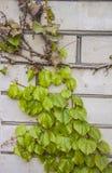 Ivy Climbing On una pared del estuco fotografía de archivo
