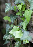 Ivy climbing up rocks Stock Photography