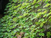 Ivy Climbing verde su un'alta parete Fotografia Stock