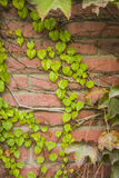 Ivy Climbing On verte un mur de stuc photos stock