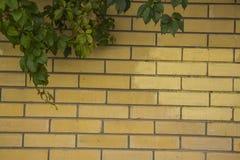 Ivy Climbing On Wall Stock Photo
