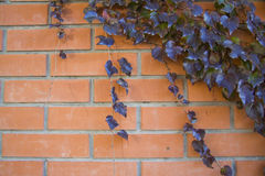 Ivy Climbing On Wall Royalty Free Stock Photos