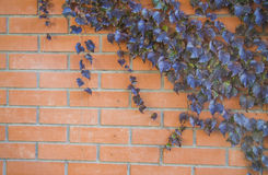 Ivy Climbing On Wall Stock Photography