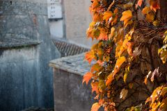 Ivy climbing the wall of a building. Close up of green ivy growing on a building Stock Photo