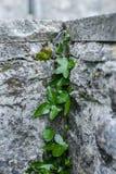 Ivy climbing a wall royalty free stock photos