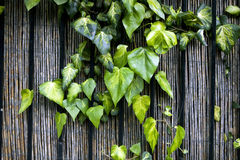 A Ivy climbing the wood fence. Spring time Stock Image