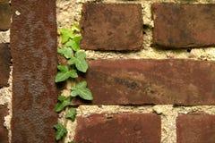 Ivy climbs old brick wall Stock Image