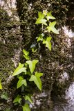 Ivy climbs a tree in the forest. Ivy climbs a tree covered with moss, illuminated by the sun.  in the forest Stock Image