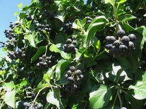 Ivy with cluster of black fruits Stock Photo