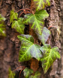 Ivy (common ivy, English ivy, European ivy) Stock Photography