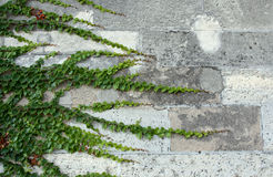 Ivy on the concrete brick wall. Ivy border on the concrete brick wall stock photography