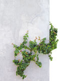 Ivy on concrete wall Royalty Free Stock Photography