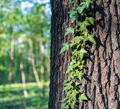 Ivy on a horse chestnut stock photo