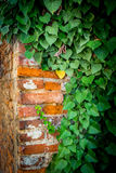 Ivy on the corner of a wall Stock Photos