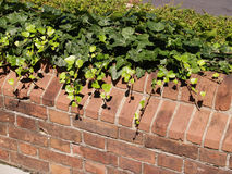 Ivy covered brick wall Stock Photo