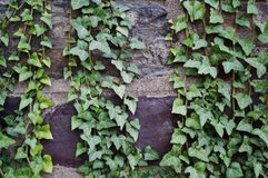 Ivy covered brick wall. In an Ivy League university Royalty Free Stock Photo