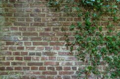 Ivy covered brick wall Royalty Free Stock Images