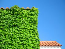 Ivy-Covered Building Detail. A detail from a building with an ivy-covered wall stock photos