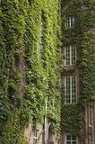 Ivy covered buildings. With windows and bricks showing through Royalty Free Stock Images