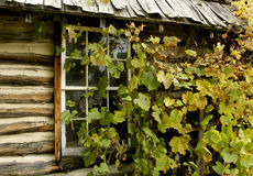 Ivy covered cabin Royalty Free Stock Photos