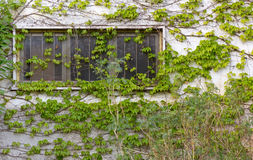 Ivy Covered Exterior Wall Lizenzfreies Stockfoto