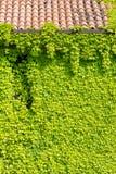 Ivy Covered Exterior Wall Lizenzfreie Stockbilder